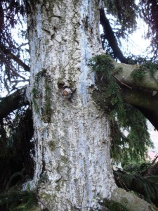 Exudate sap  from a  conifer (spruce)