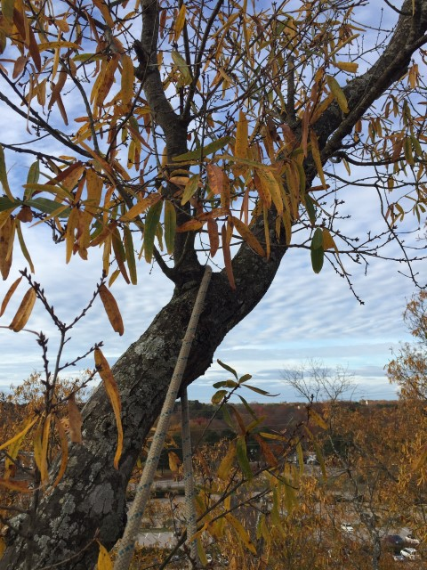 Wolf Village Willow Oak Trees:  Natural Management