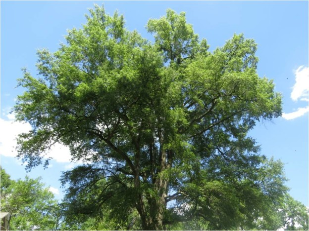 Managing Mature Willow Oaks in Burlington, NC